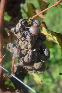 grappe-botrytis-2016