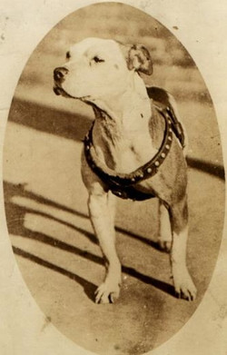 ae21c0f38c637d634e75f247aa0a2539--pitbull-pictures-dog-pictures