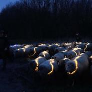schapen in het donker