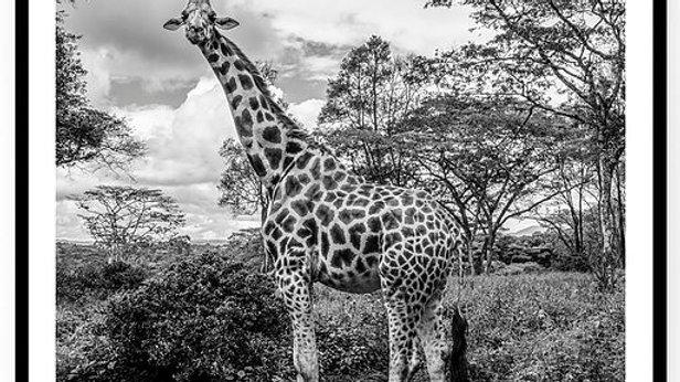 Pregnant Giraffe, Africa, 2018. Fine Art Print. 80 x 60 cm. Edition 10.