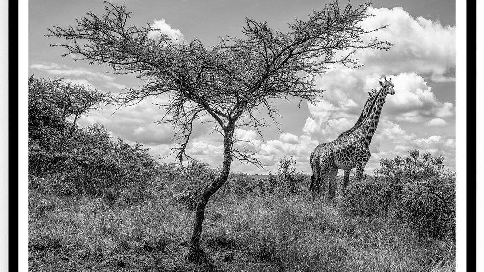 Giraffes, Africa, 2018. Fine Art Print. 60 x 80 cm. Edition 10.