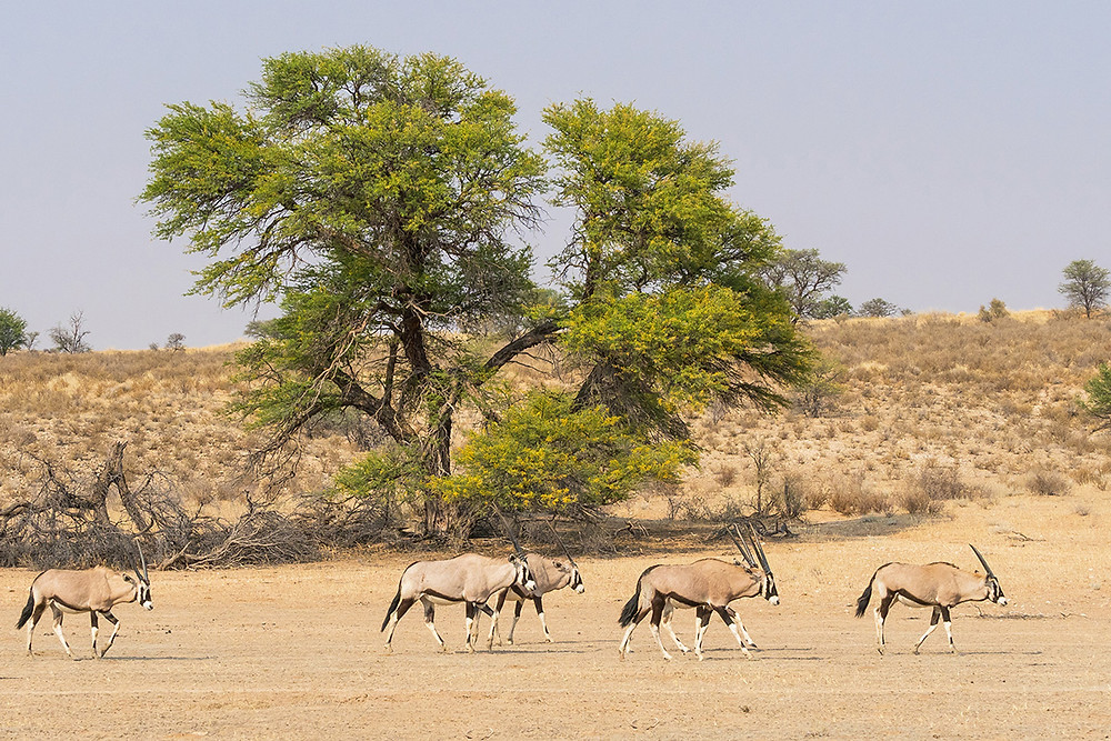 Africa, Botswana, Gemsbok National Park, african safari