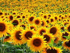 San Antonio Sunflower Field Honors Cancer Patients and Survivors