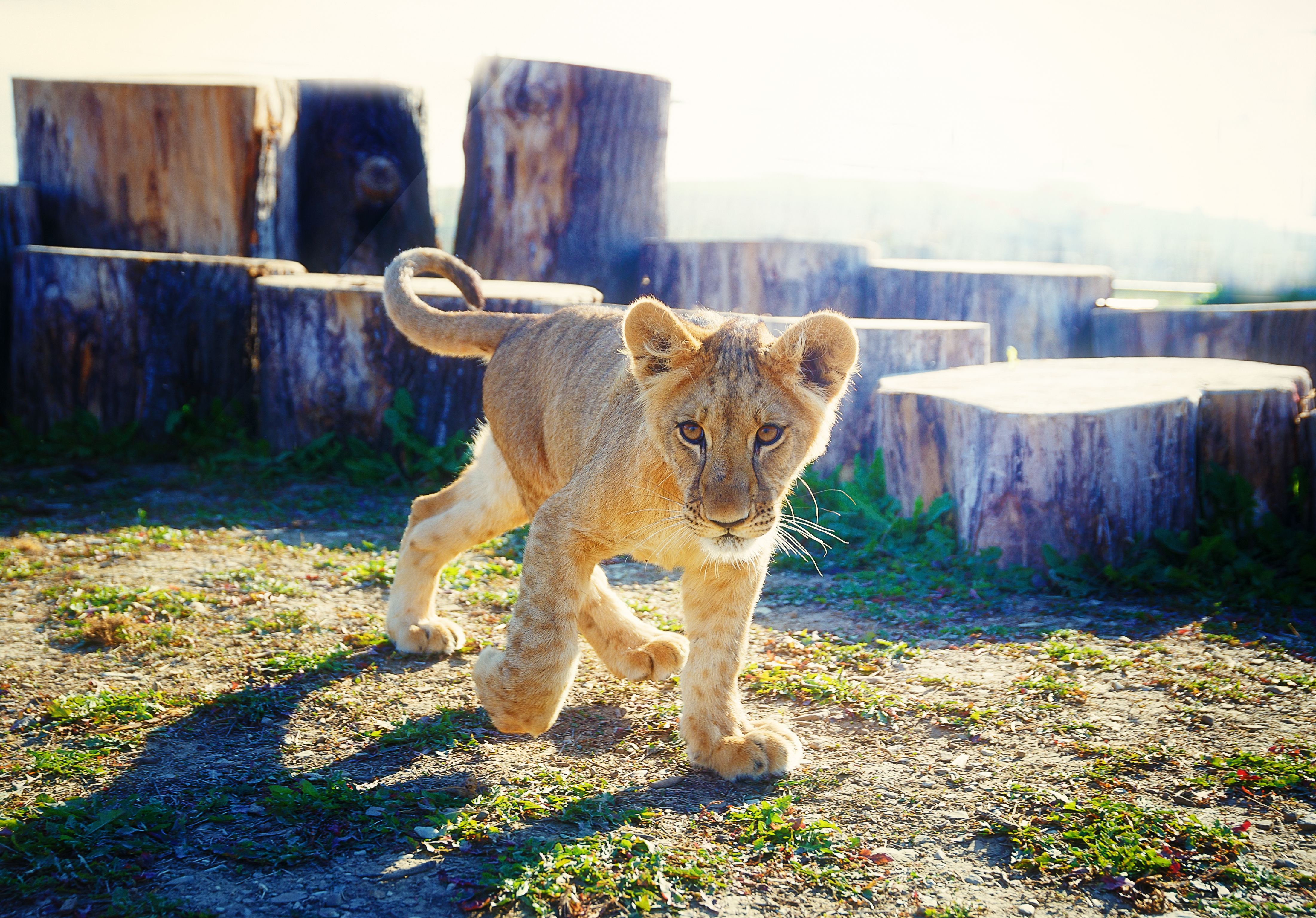 Little lion cub in nature and wooden log