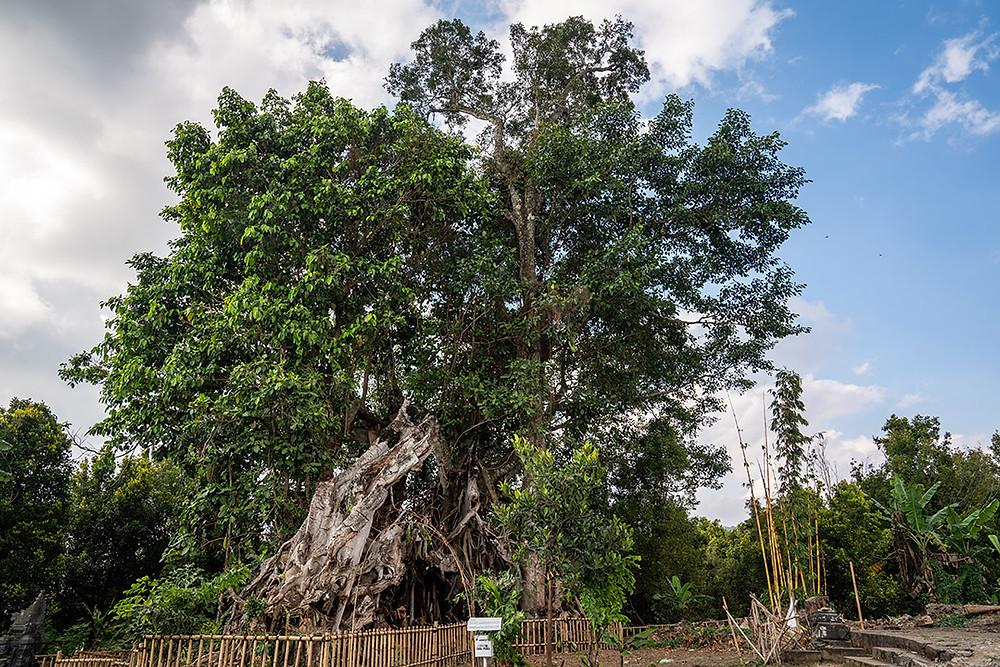 giant banyan tree in bali