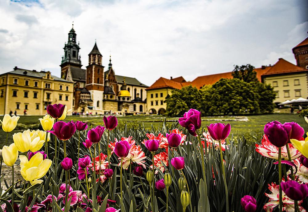 Tulips in Wawel Castle Gardens