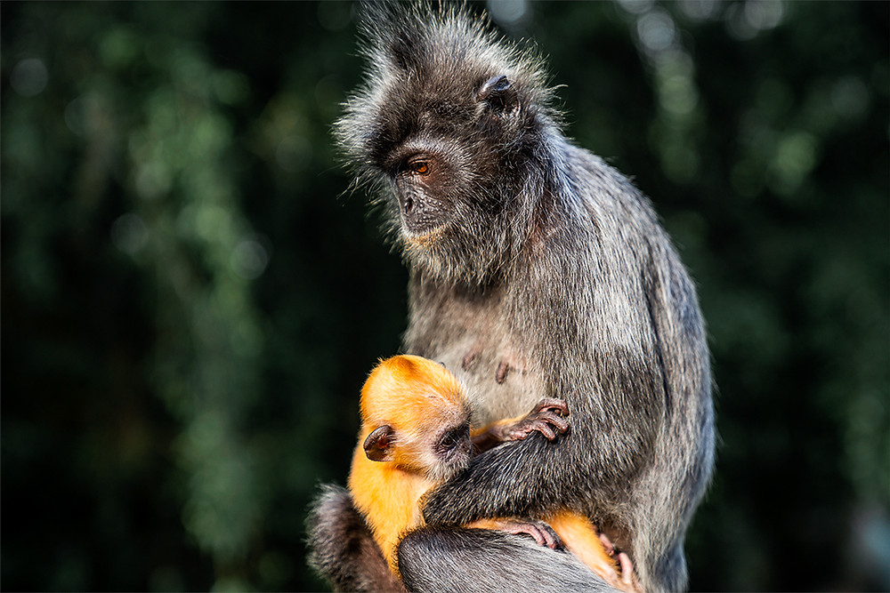 Baby silver leaf monkey with mother