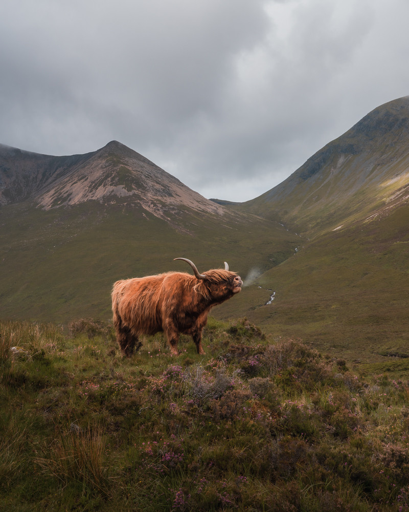 Highland Coo mooing breath majestic