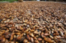 cocoa-beans-drying-Nigeria-48104-OUS-1152x763.jpg