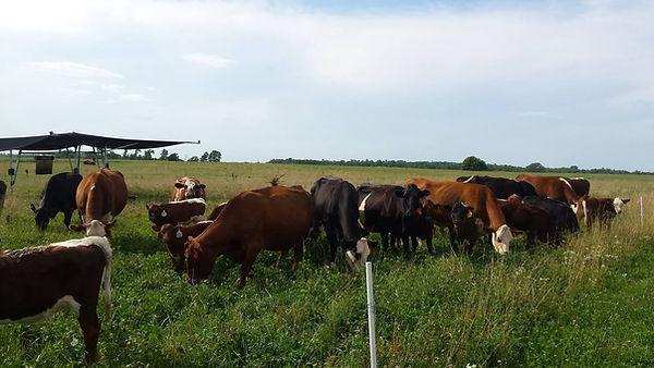 Herd on Fence line.jpg