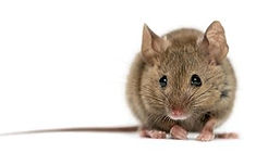 Mice Hamiltons Pest & Weed Control