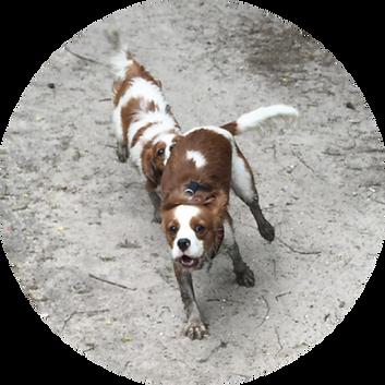 running muddy dogs.png
