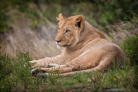2019RFNHM_PDI_009 - Just Lion Down by Alan Hillen.