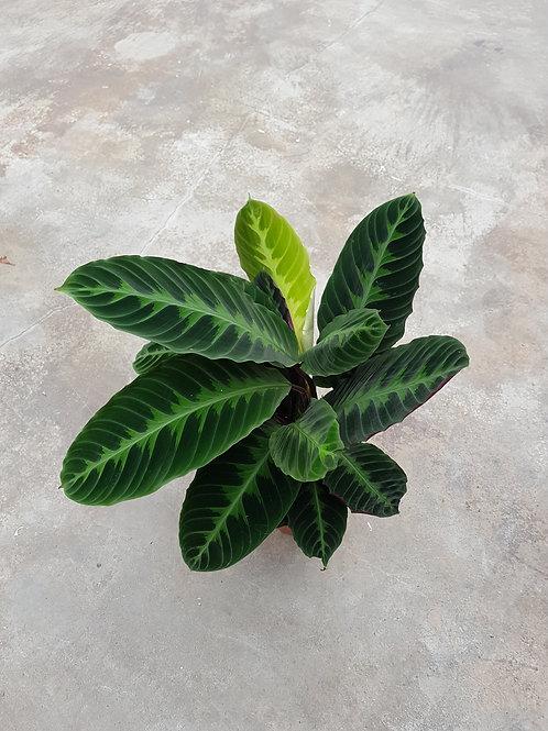 Calathea warscewiczii, 19 cm potte