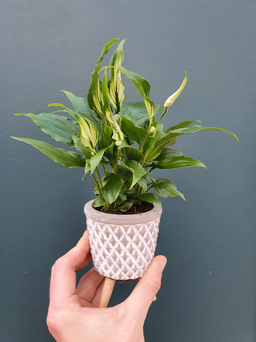 Spatiphyllum 'Sweet Silvio', 7 cm potte