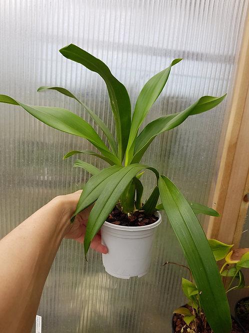 Brassia verrucosa, 12 cm potte