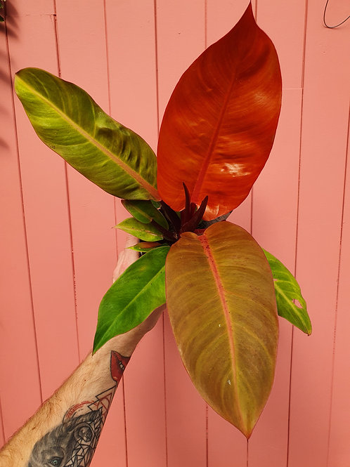 Philodendron 'Orange Princess', 14 cm potte