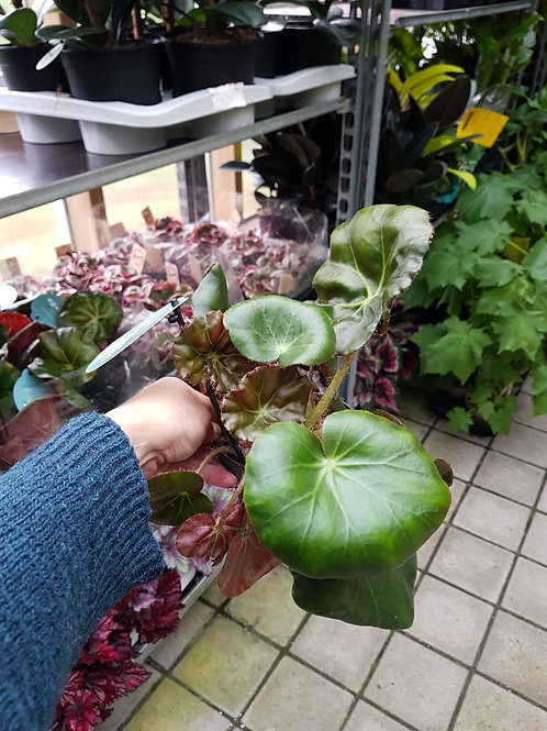 Begonia erythrophylla,  12 cm potte