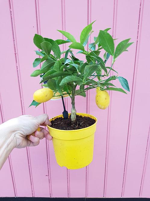 Citrus limon (dverg sitron), 12 cm potte