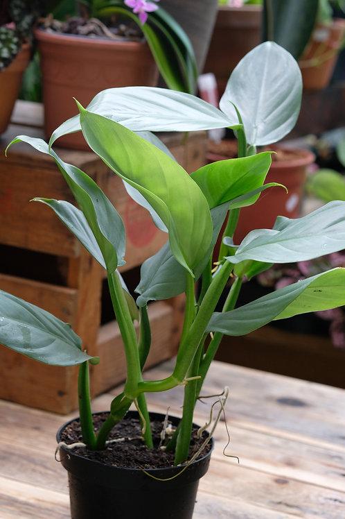 Philodendron hastatum, 13 cm potte