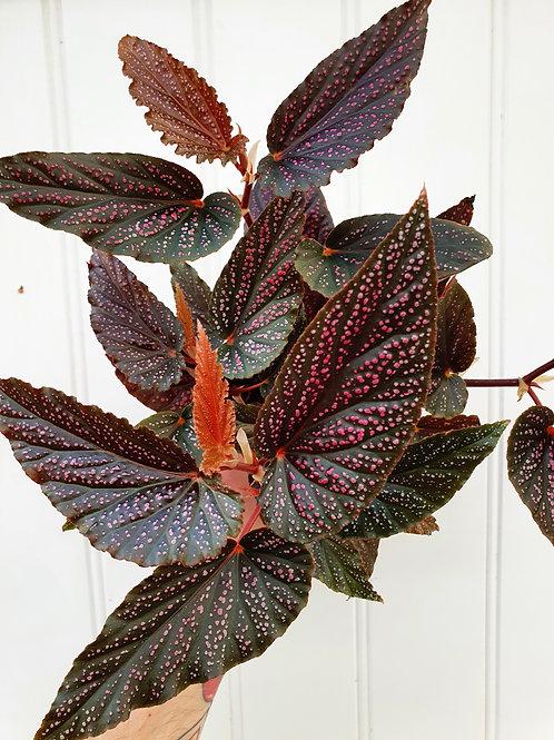 Begonia 'Benigo',  12 cm potte