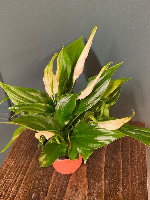 Spathyphyllum 'Pearl Cupido', 7 cm potte