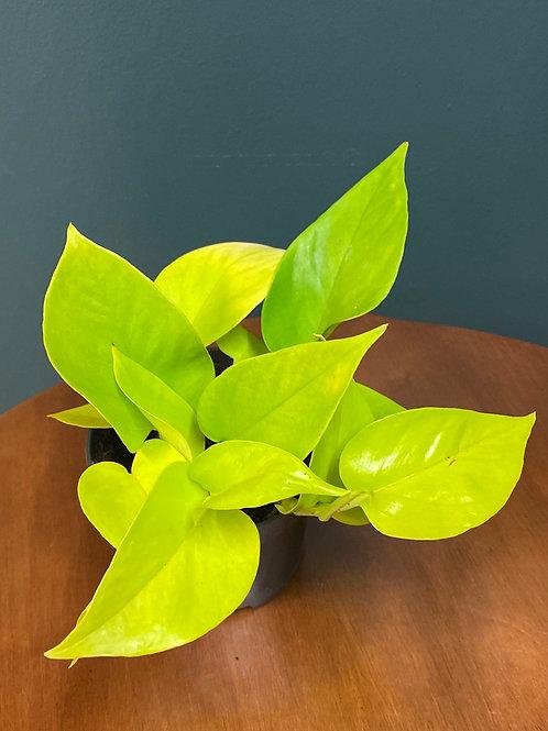 Epipremnum 'Neon', 12 cm potte