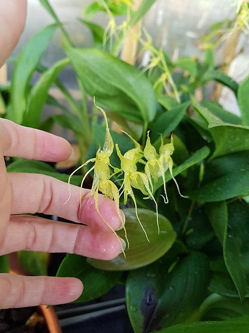 Pleurothallis phalangifera,  19 cm potte