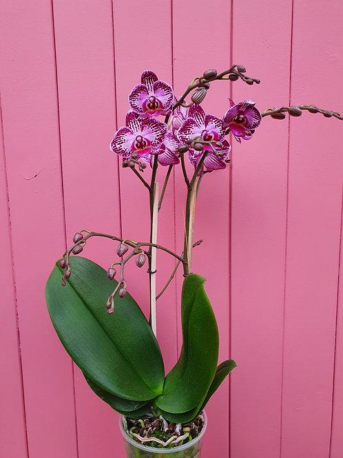 Phalaenopsis multiflora hybrid, 12 cm potte