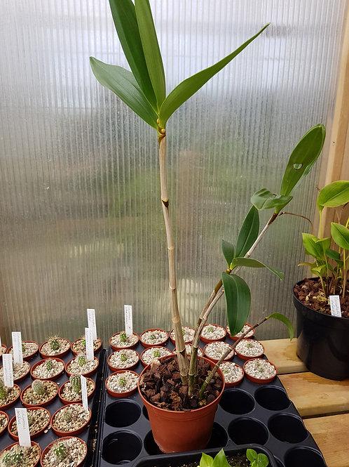 Dendrobium  x delicatum, 12 cm potte