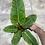 Thumbnail: Philodendron melinonii, 17 cm potte