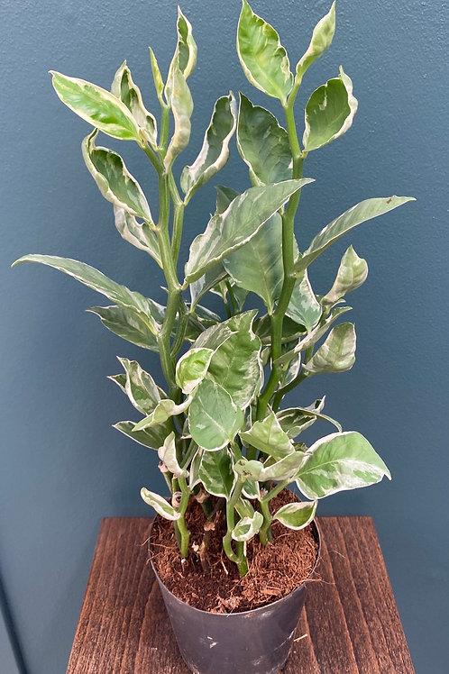 Pedilanthus tithymaloides f. variegata, 12 cm potte