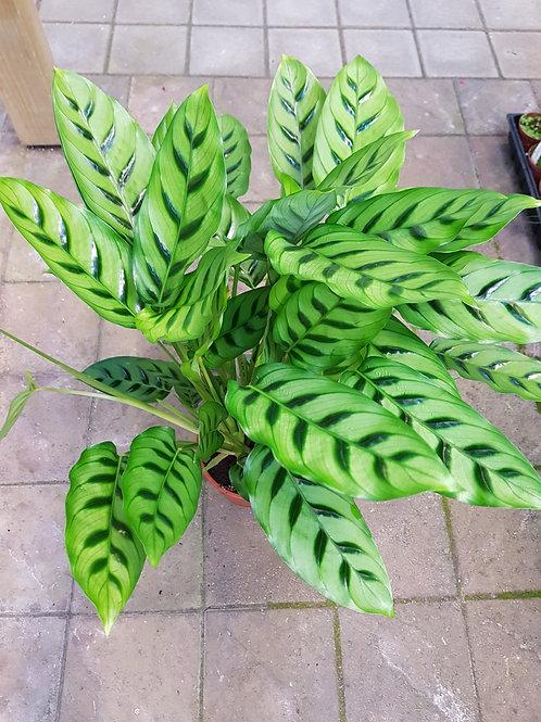 Calathea leopardina,  17 cm potte
