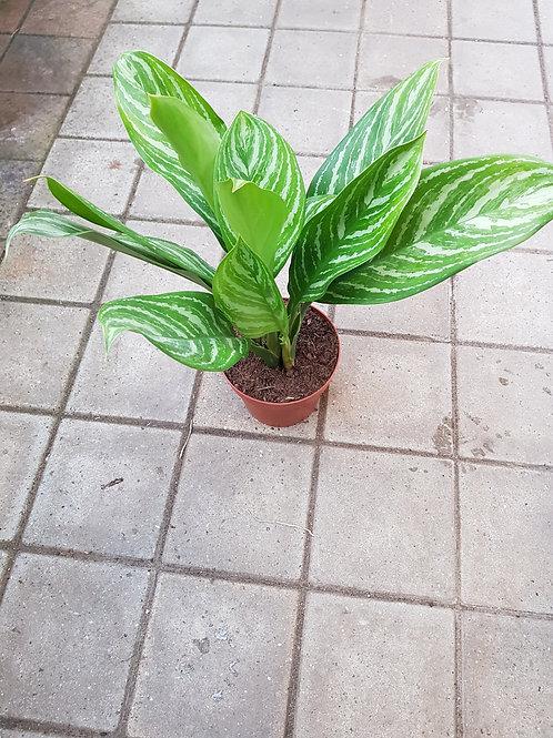 Aglaonema hybrid 'Stripes', 17 cm potte