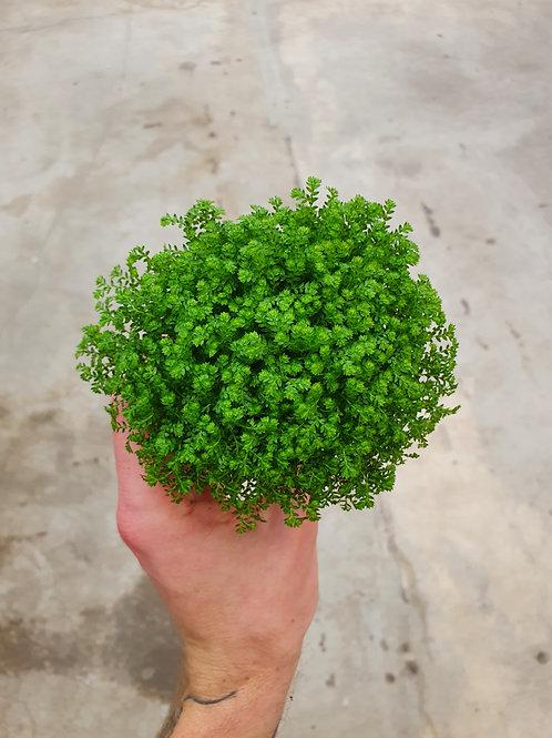 Selaginella apoda, 8 cm potte