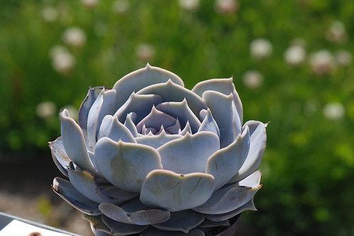 Echeveria lilacina, 12 cm potte