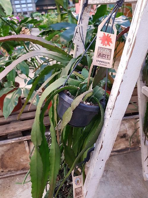 Epiphyllum ackermanii,  uroted stikling