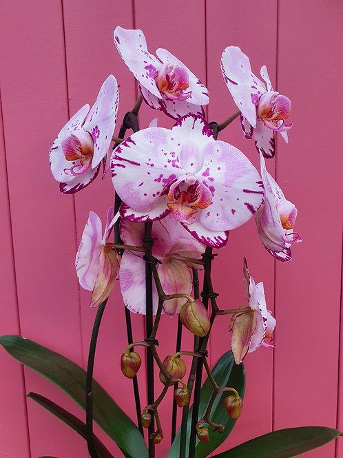 Phalaenopsis Emiliya, 14 cm potte