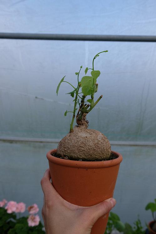 Stephania cepharantha var.hayata, 14 cm leirpotte