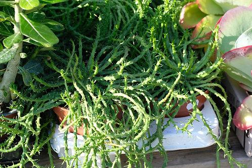 Euphorbia flanaganii, 12 cm potte