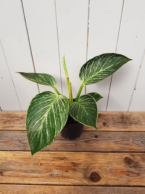 Philodendron 'Birkin', 11 cm potte