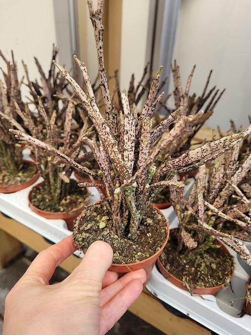 Euphorbia platyclada, 9 cm potte