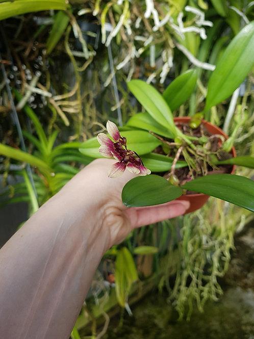 Bulbophyllum lepidum, 10 cm potte