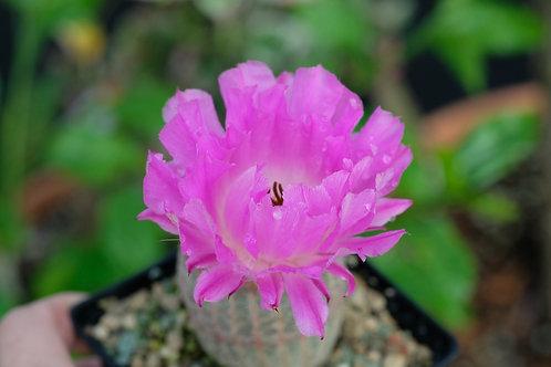 Echinocereus rigidissimus ssp. rubispinus, 12 cm potte