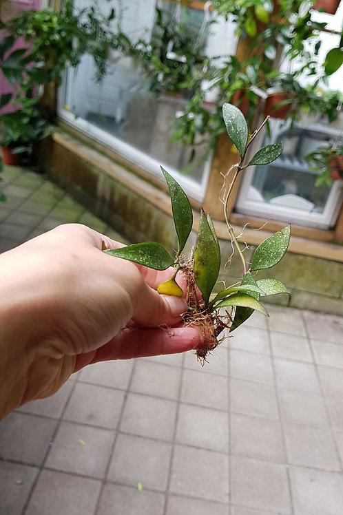 Hoya parviflora 'Splash', uroted stikling