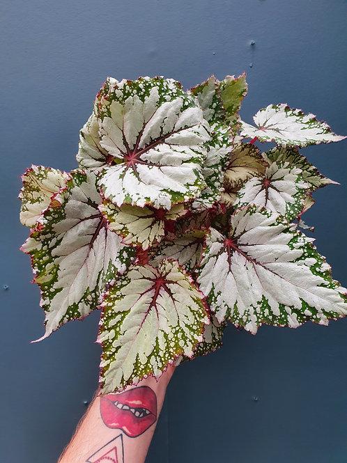 Begonia Rex 'Asian Tundra', 12 cm potte