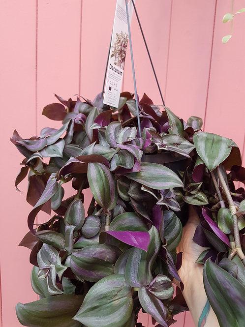 Tradescantia zebrina 'Purple Joy', uroted stikling