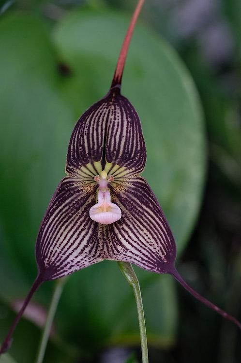 Dracula vampyra,  barroted plante