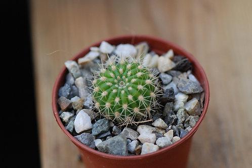 Echinopsis hybrid 'Paracas Serie 308', 2.5 cm