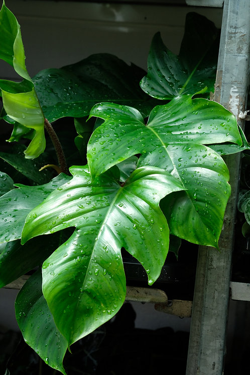 Philodendron squamiferum, 19 cm potte